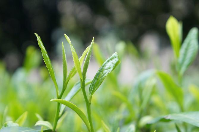 Green Tea Ingredients